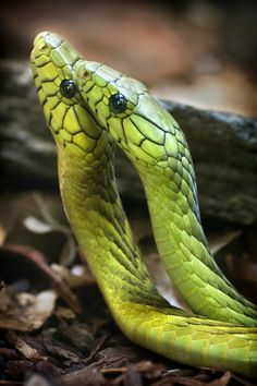 Pair of Green Mambas by Peter Csanadi on 500px