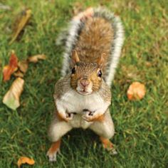 "Squirrel: ""You promised me some walnuts today, from your tree!"" (The Secret Life of Squirrels: Grit Magazine.)"
