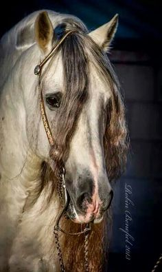 """Beautiful Andalusian Stallion - Equine photography The Pas Fino is a breed that was """"developed"""" using breeds- ANDALUSIAN, the BARB & the Spanish Jennet. Horse Photos, Horse Pictures, Most Beautiful Animals, Beautiful Horses, Andalusian Horse, Majestic Horse, Clydesdale, All The Pretty Horses, White Horses"""