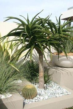 Aloe Bainesii Tree (aloe bainesii, barberae) - 15 Gallon - Another! Succulent Landscaping, Landscaping Plants, Front Yard Landscaping, Succulents Garden, Landscaping Ideas, Xeriscaping, Hardy Plants, Garden Care, Landscape Design