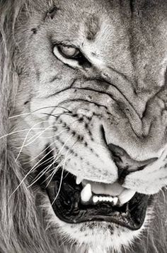 When you touch a nerve the growl is deep, but the bite is worse | ENTP ♌ probably my favorite lion picture