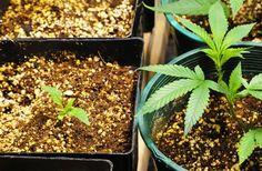 Insider's Grow: Getting Started with Seeds  ( marijuana cannabis ) http://www.pinterest.com/thathighguy http://www.spliffseeds.nl/silver-line/blue-berry-seeds.html