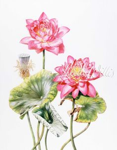 129 Best Watercolor Lotus Images In 2017 Chinese Watercolor Lotus