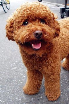 Amazing hand crafted jewellery and accessories available for poodle moms and poodle dads at PawsPassion. Represent your poodle puppy with our amazing merchandise! Positive Dog Training, Basic Dog Training, Training Dogs, Teddy Bear Poodle, Brown Toy Poodle, Teddy Bears, Toy Poodle Apricot, Poodle Haircut Styles, Red Poodles