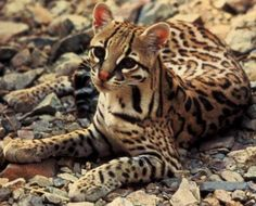 The ocelot (Leopardus pardalis), also known as the dwarf leopard, is a wild cat distributed extensively over South America, Central America, and Mexico. It typically weighs Big Cats, Cats And Kittens, Cats Meowing, Jaguar, Fluffy Cat Breeds, Animals Beautiful, Cute Animals, Wild Animals, Beautiful Cats