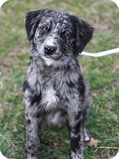 Danbury, CT - Border Collie/Australian Shepherd Mix. Meet Bowie a Dog for Adoption.