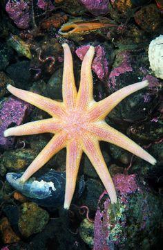 una estrella espinosa de ocho patas