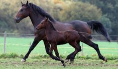 Cleveland Bay Horse Society - Cleveland Bay Horses