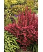 Barberry Bush Care | Monrovia | Plants that Grow Beautifully in your Outdoor Space