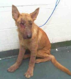 RASCAL (A1706723) I am a male tan German Shepherd Dog mix. The shelter staff think I am about 1 year and 6 months old and I weigh 55 pounds. I was found as a stray and I may be available for adoption on 06/27/2015. Miami Dade https://www.facebook.com/urgentdogsofmiami/photos/pb.191859757515102.-2207520000.1435011131./999369996764070/?type=3&theater