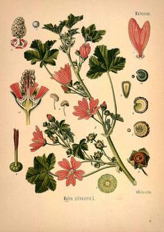 13157 Malva sylvestris L. / Köhler, F.E., Medizinal Pflanzen, vol. 1: t. 59 (1887) [W. Müller]