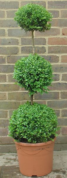 Buxus triple ball.