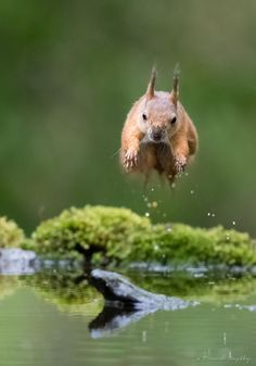 Red squirrel by trondwestby forest spring water nature animal female green jumping norway woods wildlife squirrel wild re Nature Animals, Baby Animals, Cute Animals, Baby Friends, Red Squirrel, Amazing Nature, Beautiful Creatures, Animal Kingdom, Pet Birds