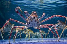 Japanese Spider Crab #sealife
