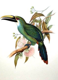Wagler's Toucanet(Aulacorhynchus wagleri) Bird Illustration, Illustrations, Botanical Illustration, Fantasy Drawings, Bird Drawings, Bird Artwork, Bird Pictures, Arte Floral, Exotic Birds
