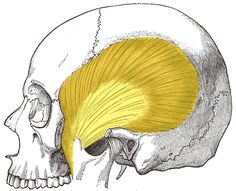 Muscles-of-Mastication-Temporalis