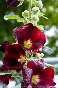 Flowers Garden, Floral Flowers, Red Flowers, Beautiful Flowers, Growing Hollyhocks, Garden Farm, Bloom Blossom, Types Of Flowers, Hibiscus