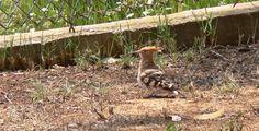 Algarve - Portugal - B Cas al Cubo, Hop - Hoopoe -Poppa - Wiedehopf - Vogelspotten - Bird Watching