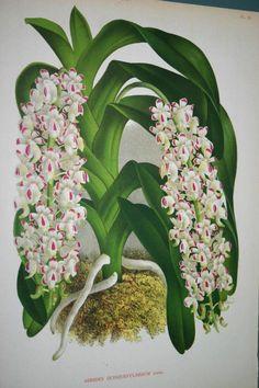 Lindenia Orchid Print Limited Edition Aerides Quinquevulnerum Cluster Vanda B1      $15.31
