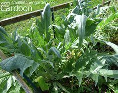 Mature cardoon plants