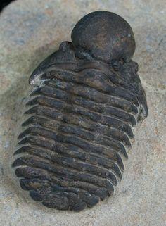 Actinopeltis globosus | An unusual trilobite from Morocco, with it's very bulbous glabella.