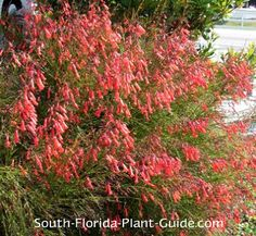 Firecracker Plant Russelia equisetiformis Firecracker plant grows in a wild and wispy free-form with cascading fiery red blooms that attract hummingbirds and butterflies.