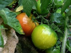 Recipe: Women's Institute Green tomato chutney. Gardenista