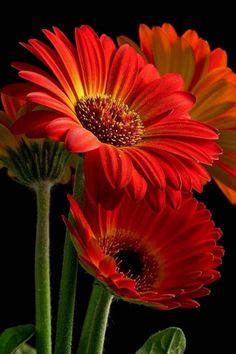 Proven Winners - Plants you can count on - Flowers- Daisies/ Gerbera - Blumen Amazing Flowers, Pretty Flowers, Red Flowers, Colorful Flowers, Beautiful Flowers Photos, Unusual Flowers, Gerber Daisies, Plantation, Flowers Nature