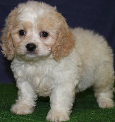 Cavapoo Puppies For Sale New Jersey Puppies For Sale Breeders Club