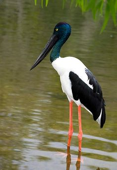 The Black-necked Stork (Ephippiorhynchus asiaticus) is a tall long-necked wading bird in the stork family. It is a resident species across South and Southeast Asia with a disjunct population in Australia. It lives in wetland habitats to forage for a wide range of animal prey.