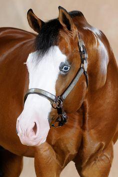 Gunner's Enterprise - 2004 Bay Overo Quarter Horse & Paint Horse Stallion (Colonels Smokin Gun x My Royal Enterprise) - CS Ranch Reining Horses.
