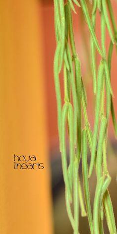 Hoya Linearis - cutting Plant Pflanze Wachsblume, Wax plant #hoya