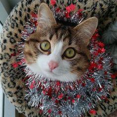 CONGRATS @ferrecats  Thanks for tagging ... Follow us on Instagram :D #cats #cat #catlover #lovecats #funny #fun #cute #socute #feline #felines #felinefriend #fur #furry #paw #paws #kitten #kitty #kittens #kittycat #kittylove #fluffy #fluff