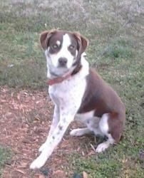 Caleb is an adoptable Australian Shepherd Dog in Thomasville, NC. Caleb was born around April 2012 & and Australian Shepherd mix. Hes currently 45 lbs. He was given up, because he was too energetic ...