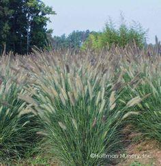 Giant Fountain Grass