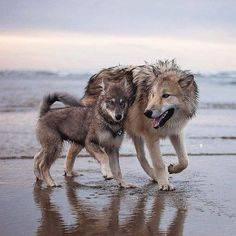 Wolf and cub on the beach