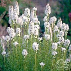 Plant Profile for Liatris spicata Floristan White - Blazing Star Perennial