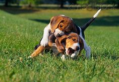 PUP 09 GR0044 01 - Two Beagle Puppies Wrestling On Grass - Kimballstock