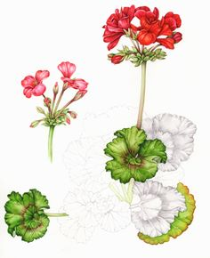 This geranium was addicitive, I knew I had enough info on it but I kept getting mroe and more involved in the leaves and then the flowers looked so tragic half completed.  Amazing fun to get to use such ridiculous colours.