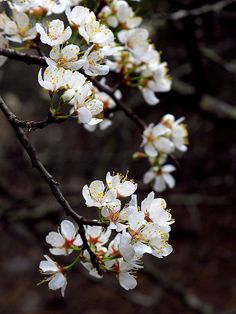 gorgeous plum blossoms #photography #flowers