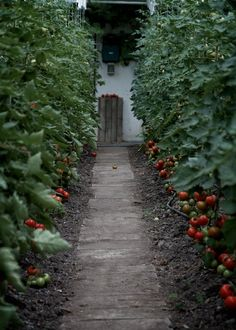 This garden grows tomatoes the way large greenhouse growers do, by training the plants to grow vertically along a guide wire. As you can see they are tall and beautiful along this pathway.