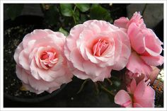 Alaska Master Gardeners Anchorage - Growing Roses in Anchorage Alaska