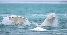 Beluga in Arctic ; 'I think it's important that people know that pristine places like this beluga place, is one of a kind in the world' said wildlife photographer Nansen Weber. (Nansen Weber)