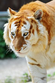 Its a Ginger Tiger ... Chloe would be so proud    Golden Tiger - A golden tiger, golden tabby tiger or strawberry tiger is one with an extremely rare color variation caused by a recessive gene that is currently only found in captive tigers.  Today, there are less then 30 of these animals in the world - Beautiful animal - by Sherry Goldstein...
