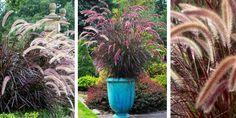 PIÓRKÓWKA RUBRA WYJĄTKOWO OZDOBNA TRAWA 7517950869 - Allegro.pl - Więcej niż aukcje. Plants, Flora, Plant