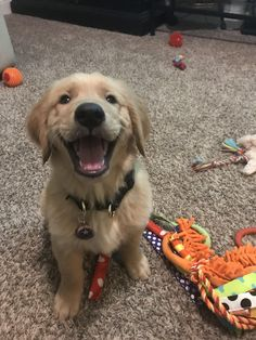 Our youngest pup in the aftermath of dumping his toy basket. Cap is very proud of himself. Golden Retriever Mix, Retriever Puppy, Golden Retrievers, Cute Little Puppies, Cute Dogs And Puppies, Doggies, Cute Dog Photos, Puppy Pictures, Animal Hugs