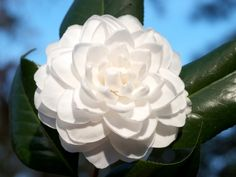 Whoa camellias are so my favorite right now landscape pinterest sea foam japonica 12x6 the camellia flowers in december to early mightylinksfo
