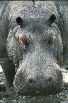 Africa |  Close up of a hippo. Zibadianja lagoon, Botswana | © National Geographic / Beverly Joubert