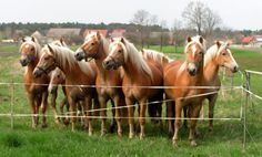 I love this breed, the Halflinger. They are a size in between a horse and a pony. I'm sure hobbits prefer them.