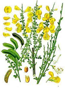 Cytisus scoparius - retaman de escoba